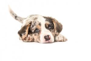 ¿Cómo muestran los perros el afecto a los humanos?
