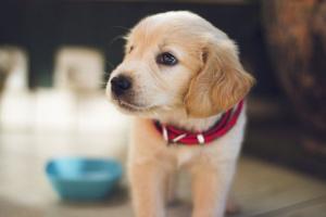 Aborto espontáneo y pérdida de embarazo en perros