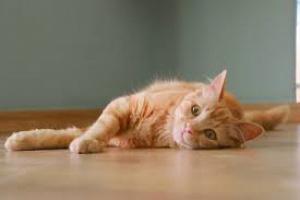 Cáncer de hueso (condrosarcoma) en gatos