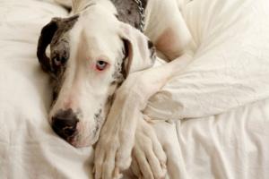 Infección fúngica (Malassezia pachydermatis) de la piel en perros