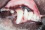 Enfermedad de las encías en los perros