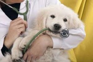Infección parasitaria (encefalitozoonosis por microsporidiosis) en perros