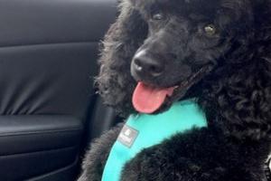 Cuidando a tu perro cuando está en el carro