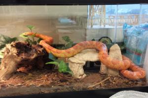 El calor y sustrato adecuado para el cuidado de su serpiente de maíz