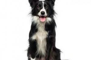 Cáncer de oído (adenocarcinoma) en perros