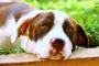 Bazo agrandado en perros