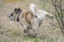 Tracto urinario / cálculos renales (fosfato de calcio) en perros