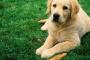 Bloque cardíaco (completo) en perros