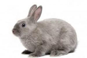 Abultamiento de los globos oculares y la enfermedad de los huesos alrededor de los ojos en los conejos