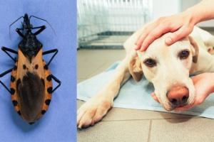 Enfermedad de Chagas en perros: síntomas, causas y tratamientos.