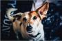 ¡Hay cosas marrones procedentes de las orejas de mi perro! ¿Ella tiene ácaros del oído?