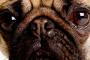 Inflamación de los ojos (uveítis anterior) en los perros
