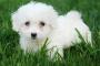 Inflamación del ganglio linfático (linfadenopatía) en perros