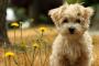 Defecto congénito del corazón (defecto del tabique auricular) en perros
