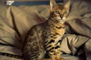 7 razas de gato exóticas