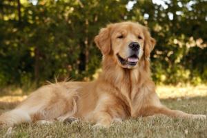 Inflamación renal debida a la acumulación de líquido en perros