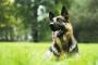 Cáncer de corazón (Hemagiosarcoma) en perros