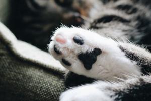 Toxicosis de veneno de araña reclusa marrón en gatos