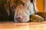 Inflamación del saco cardíaco (pericarditis) en perros