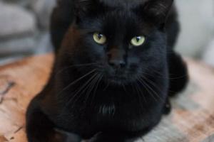 ¿Por qué algunos gatos negros se ven de color distinto bajo el Sol?