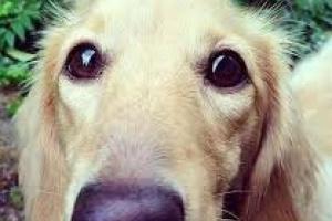 Tamaño desigual de la pupila en perros