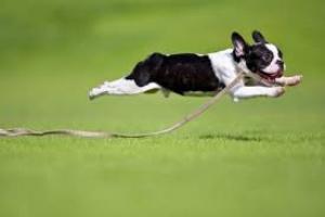 Correr lejos de casa y marcar territorio en perros