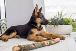 Anormalidades espermáticas en perros