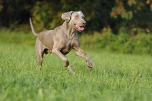 Cáncer intestinal (adenocarcinoma) en perros
