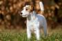 Inflamación hepática (granulomatosa) en perros