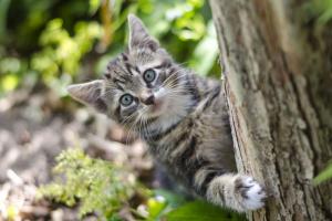 Ascitis en los gatos