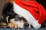 Se estima que casi 2,000 perros sufrirán de intoxicación con chocolate esta Navidad.
