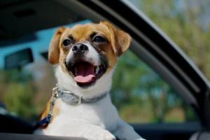 ¿Por qué los perros sacan su cabeza del coche por la ventana?