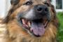 ¿Por qué hay perros con lenguas manchadas?