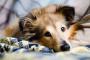 Exceso de células sanguíneas en el ojo en perros