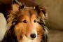 Enfermedad renal causada por múltiples quistes en perros