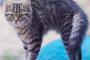 Trastorno de piel erizada en gatos