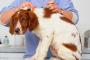 Aceténido de triamcinolona para perros (usos / dosis )