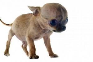 Hidrocefalia en perros: síntomas, causas y tratamientos.