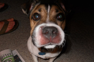 Cómo prevenir la hinchazón en los perros