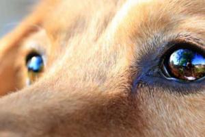 Cómo saber si un perro tiene cataratas
