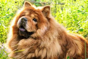 Perros que no ladran: 5 razas de perros relativamente silenciosas