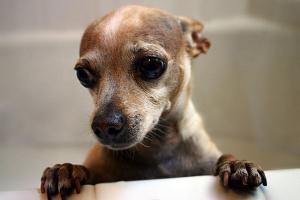 ¿Cuál es la mejor comida para cachorros para un Chihuahua?