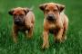 Inflamación ósea (osteodistrofia hipertrófica) en cachorros