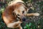 Infección de levadura y zorzal en los perros