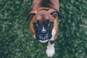 ¿Cachorros con tos y arcadas? Causas # 1 (y qué hacer)