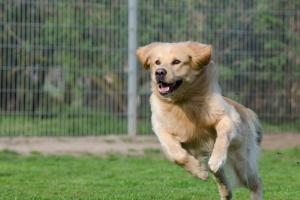 ¿Su perro enérgico tiene un caso de Frapping o perro Zoomies?