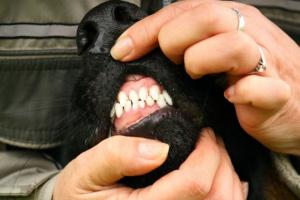 Tumores de las encías (Epulis) en perros