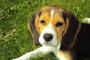 Bloqueo de impulso cardíaco en perros