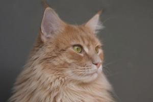 Adenocarcinoma en gatos