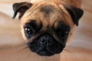 ¿Es la nariz seca una señal de enfermedad en los perros?